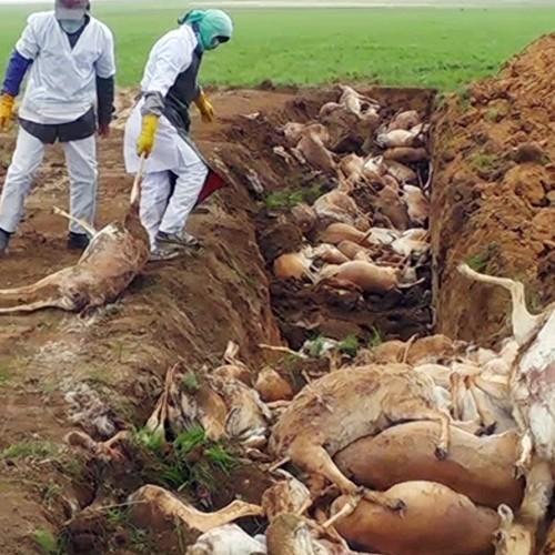 Целых 332 миллиона тенге было выделено на изучение причин гибели сайгаков